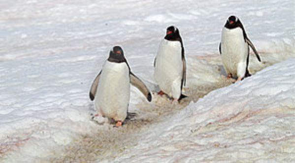 Les pingouins auraient-ils un code de la <strong>route</strong> ?!