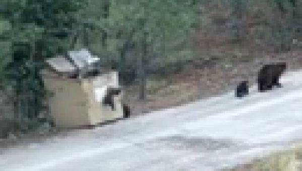 Sauvetage d'un ourson coincé dans une poubelle