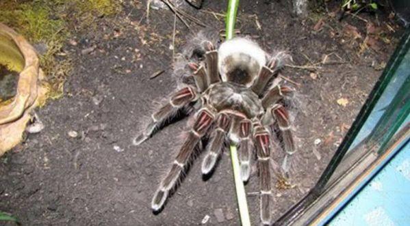 d 233 couvrez la plus grosse araign 233 e du monde