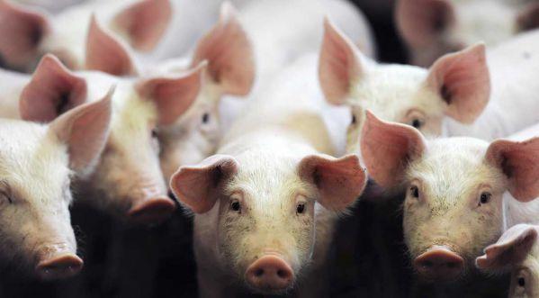 Les pompiers sauvent des cochons d'un incendie... puis les mangent — Angleterre