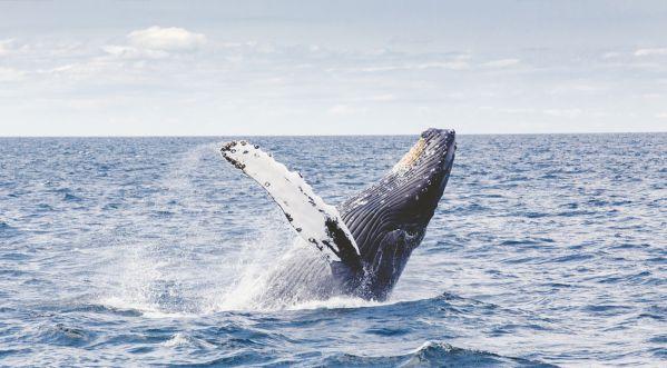 Insolite : Après avoir été avalé par une baleine..il survit ! (Vidéo)